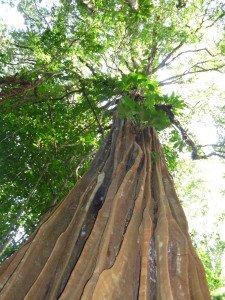 L'arbre, des racines à la cime, arbre cathedrale guyane francaise
